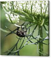The Beetle Acrobat Canvas Print