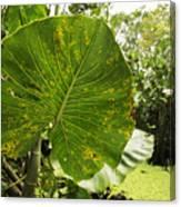 The Big Leaf Canvas Print