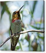 The Bird In The Foil Mask -- Anna's Hummingbird In Templeton, California Canvas Print