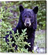 The Black Bear Stare Canvas Print