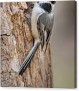 The Black Capped Chickadee Canvas Print