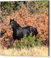The Black Stallion Canvas Print
