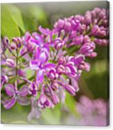 The Branch Of Lilac Canvas Print