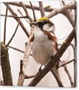 The Chestnut Warbler Canvas Print