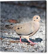 The Chipper Mourning Dove Canvas Print