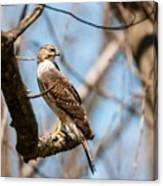 The Cooper's Hawk Canvas Print