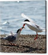 The Courtship Feeding - Series 2 Of 3 Canvas Print