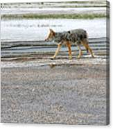The Coyote - Dogs Are By Far More Dangerous Canvas Print