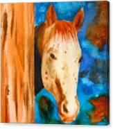 The Curious Appaloosa Canvas Print
