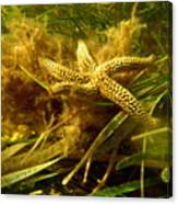 The Dancing Starfish Canvas Print