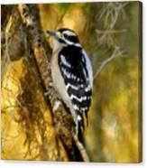 The Downy Woodpecker Canvas Print