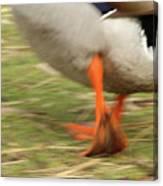 The Duck Strut Canvas Print