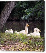 The Ducks Canvas Print