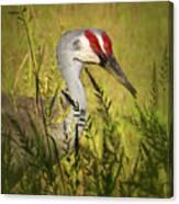 The Duo - Two Sandhill Cranes Canvas Print