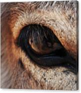 The Eye Of A Burro Canvas Print