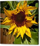 The First Sunflower Canvas Print