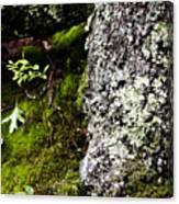 The Forest Floor Bluestone State Park West Virginia Canvas Print
