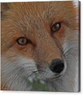 The Fox 4 Upclose Canvas Print