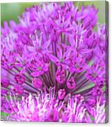 The Full Bloom Of Flowering Ornamental Onion Canvas Print