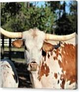 The Gazing Steer Canvas Print