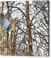 The Graceful Mourning Dove In-flight Canvas Print