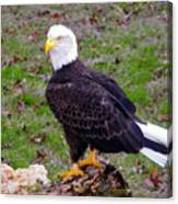 The Great Bald Eagle Canvas Print