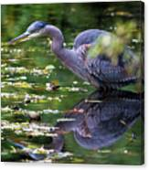 The Great Blue Heron Hunting For Food Canvas Print
