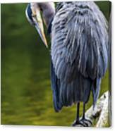 The Great Blue Heron Perched On A Tree Branch Preening Canvas Print