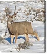 The Gtnp Mule Deer Buck Canvas Print