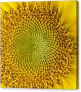 The Heart Of The Sunflower Canvas Print