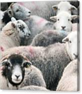 The Herdwicks Canvas Print