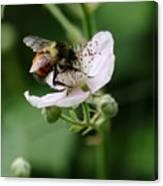The Honey Gatherer Canvas Print