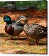 The Honeymooners - Mallard Ducks  Canvas Print
