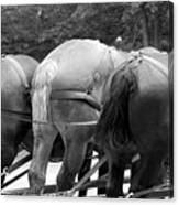 The Horses Of Mackinac Island Michigan 03 Bw Canvas Print