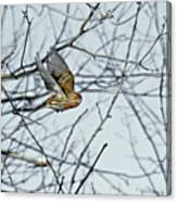 The House Finch In-flight Canvas Print
