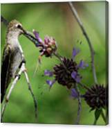 The Hummer  Canvas Print