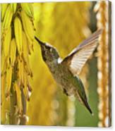 The Hummingbird And The Yellow Aloe  Canvas Print