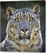 The Intense Stare Of A Snow Leopard Canvas Print