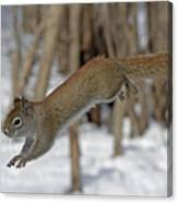 The Jumping American Red Squirrel Canvas Print