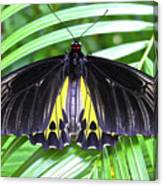 The Largest Butterfly In The World Canvas Print