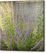 The Lavender Outside Her Window Canvas Print