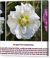 The Legend Of The Confederate Rose Canvas Print