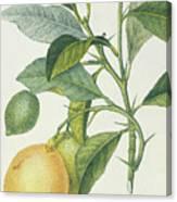 The Lemon Tree Canvas Print
