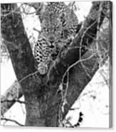 The Leopard's Stare Canvas Print