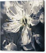 The Light Of Spring Petals Canvas Print