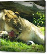 The Lion Eats Today Canvas Print