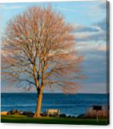 The Lone Maple Tree Canvas Print
