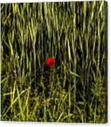 The Loneliness Of A Poppy Canvas Print