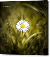 The Lonely Daisy Canvas Print