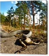The Lunch Of Grass Snake Canvas Print